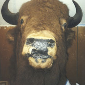 bill cody&#039;s buffalo?