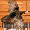 Taxidermy Wild Turkey