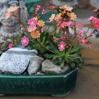 One more Lewisia cotyledon - Cliffmaid