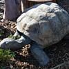 Ginormous Tortoise!