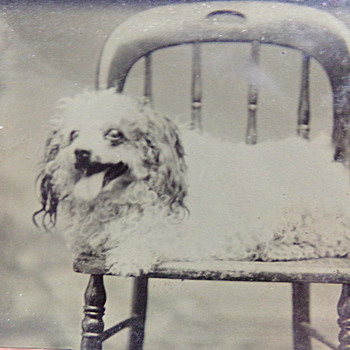 Dog Tin Type