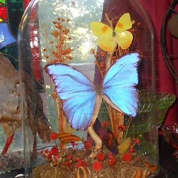 Blue Morpho Butterfly in Glass Dome Display - Animals