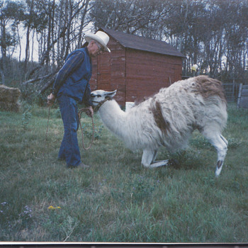 My Canada family training llama's ! Farm - Photographs