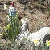 Gnomes and Daffodils