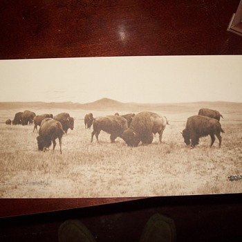 old photo -  Bison