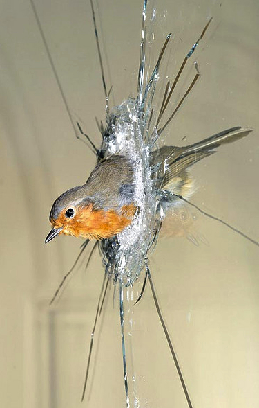 "In Polly Morgan's ""Morning"" from 2007, a taxidermied robin is caught in a pane of glass. Image via Flickr, copyright Polly Morgan."