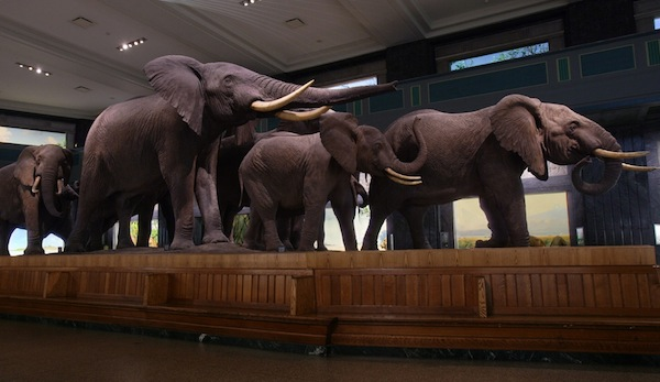 Taxidermied elephants appear to charge in the Akeley Hall of African Mammals, American Museum of Natural History.