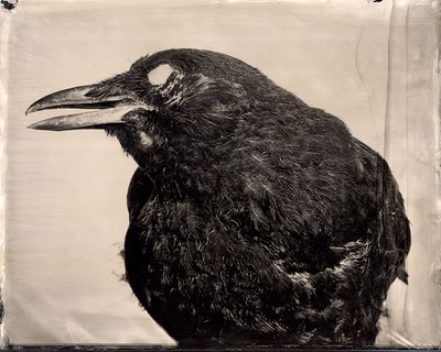 "Mary Frey's ambrotype of a taxidermied crow, ""American Crow,"" part of ""Imagining Fauna."" Image via Looking for Bubo, copyright Mary Frey."