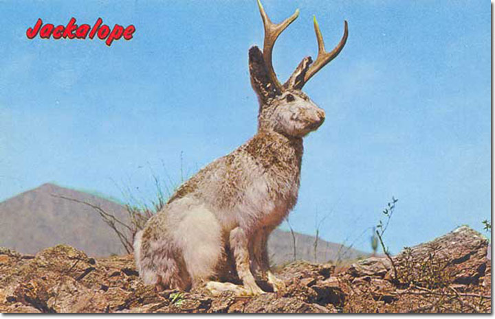 "A vintage ""jackalope"" postcard, showing the popular cryptozoological critter of the American West."