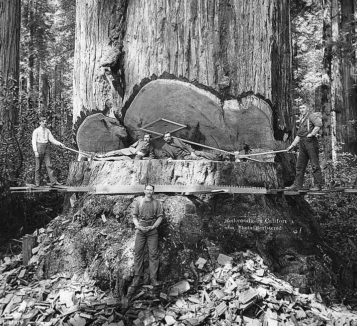 In the early 1900s, felling California's redwoods was considered an amazing feat of manpower rather than the destruction of a natural resource.