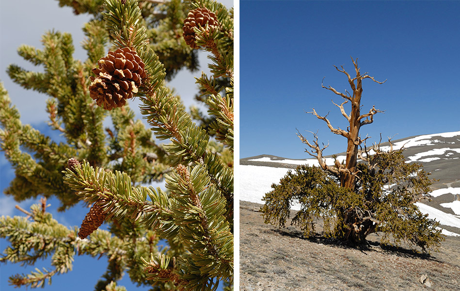A close-up of bristlecone foliage and a lone tree that's equal parts living and dead. Photos by Nick Turland.