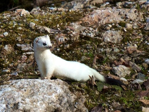 An ermine, or stoat, in its winter coat. (Photo by Steven Hint)