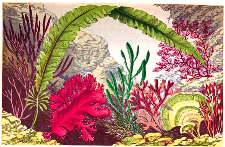 "Shirley Hibberd's ""The Sea Weed Collector"" from 1872 included vibrant illustrations of exotic underwater environments."