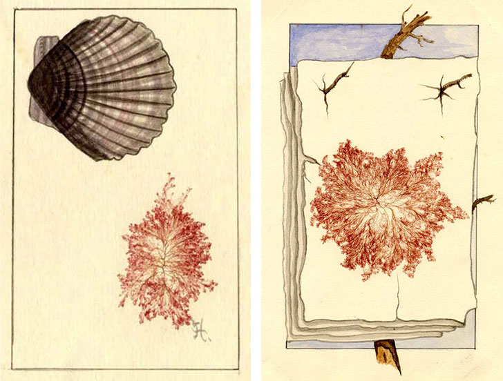 Many collectors artfully arranged their seaweed specimens or embellished them with original drawings, as seen in these plates from Mary A. Robinson's album. Courtesy the Harvard Botany Libraries.