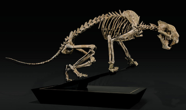 This rare 7-foot skeleton of a Nimravid, which lived in the Late Oligocene millions of years before saber-tooth tigers, was offered by I.M. Chait in May of 2013 but failed to sell (the estimate was $250,000 to $300,000). By November of the same year, Bonhams had sold it for $161,000.