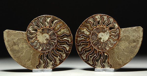 This ammonite fossil from the Early Jurassic (190-to-175 million years ago) has been cut and polished to reveal its interior chambers. Offered on eBay by artancientltd.
