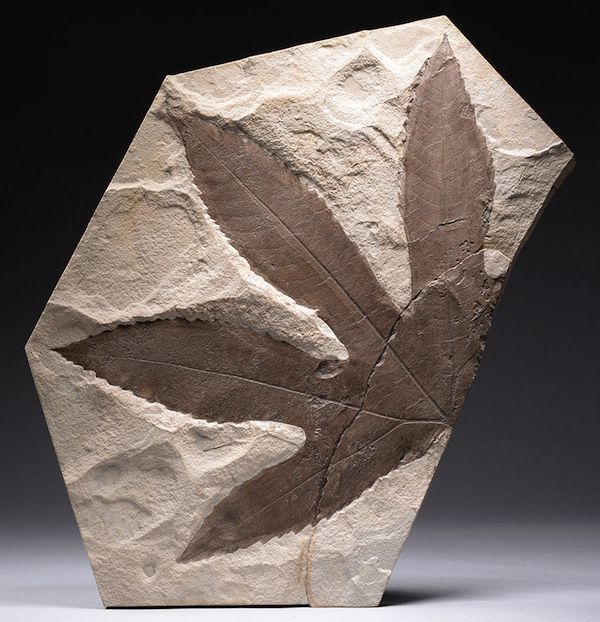 This 11-inch fossilized sycamore leaf from Wyoming dates to the Eocene, making it about 50 million years old. Offered on eBay by artancientltd.