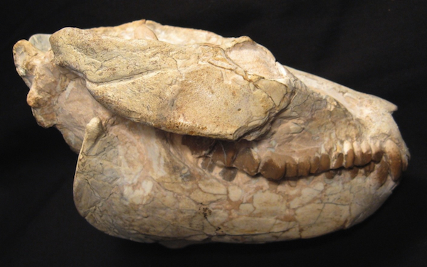 The Leptauchenia oreodont was a goat-like mammal that lived during the Late Oligocene. This skull is about 35 million years old, was found on private land in Nebraska, and is being offered on eBay by Fairfield Fossil Exchange.