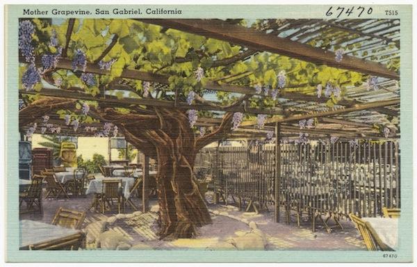 "A linen postcard, circa 1930-1945, of the ""Mother Grapevine"" in San Gabriel. (Via Digital Commonwealth)"